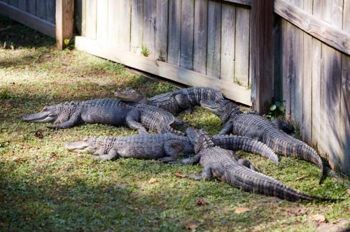 More Alligators