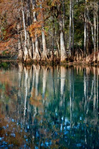 Bald Cypress trees along the main spring
